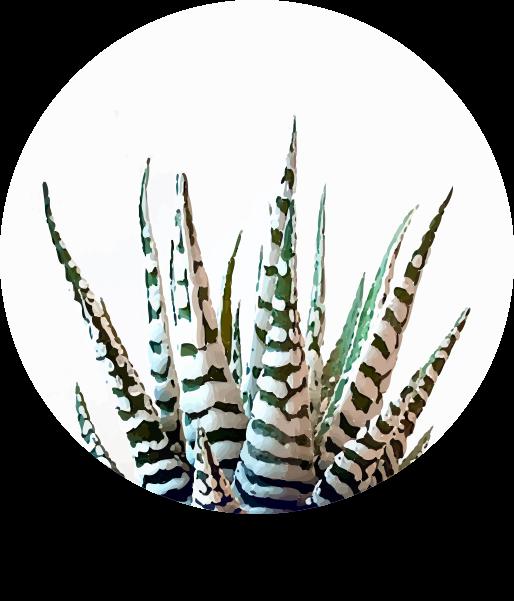 Haworthia  Fasciata.png